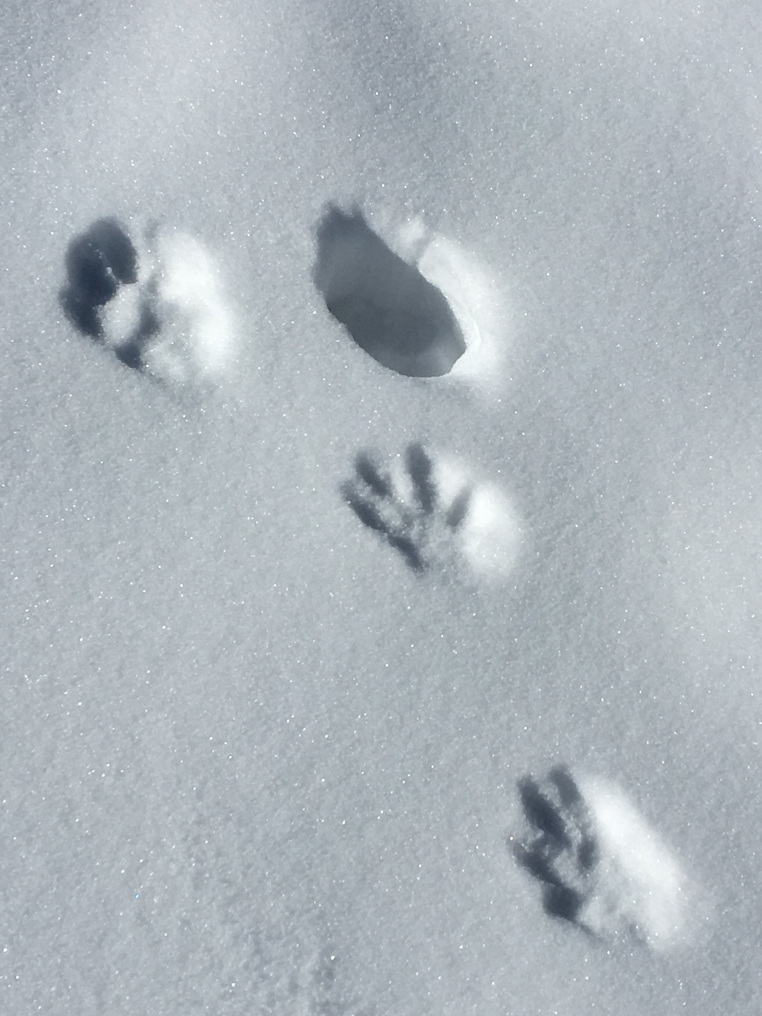 Glad I was being observant to notice these ferocious raccoon prints 🐾 Who knows if I'd still be alive today?