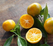 Calamondin Lime - Calamondins are a hybrid of a lime and a kumquat. The tree is small, upright and bushy with many attractive, bright orange small fruits all through the year. The flesh is orange, tart and very juicy. It can be used just as you would use any lime, for garnish, zest or juice, and has a distinct delicious flavor. The tree is easy to prune to keep as a bush and can be containerized for many years in a large pot on the lanai. It is enjoyed for its fragrant blossoms and fruit that cover the tree several times a year. We also grow a variegated Calamondin with the same characteristics.