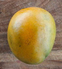 Glenn - Glenn is a 'Haden' seedling selection from Florida, it is a small to medium size tree that regularly bears 16 ounce, low fiber, spicy, rich flavored fruits. Season is from May to July and it is resistant to anthracnose.