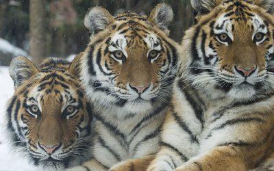 Julie Larsen Maher, Wildlife Conservation Society   Critical!   April 21-29, 2018