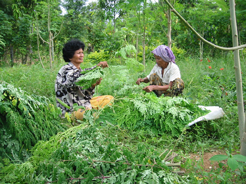 Cambodia.Khmer+ladies+harvest+leaves.Oct05.jpg