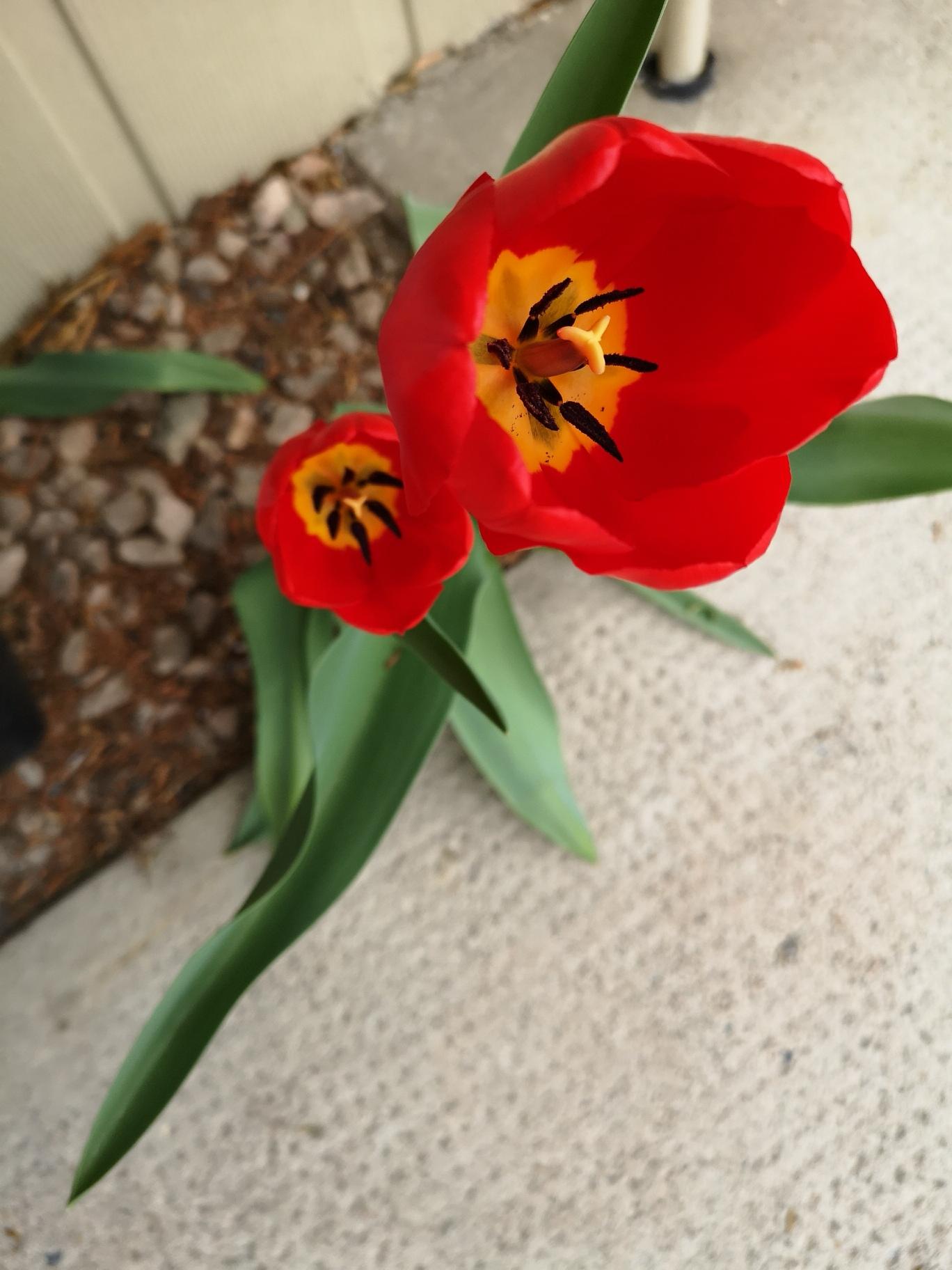 Apr,18.19 tulip outside rm 105.jpg