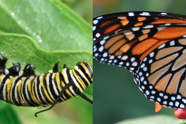 Caterpillar Butterfly3.jpg