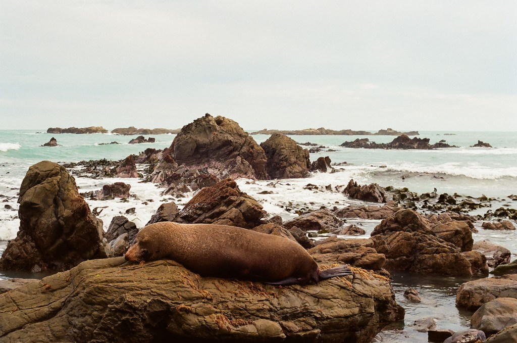 Adult Seal off the coast of Half Moon Bay, New Zealand South Island