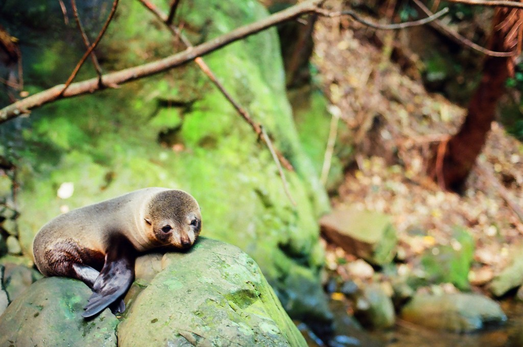 Seal Pup Drying off in the sun, Ohau Seal Pup Colony, New Zealand South Island[