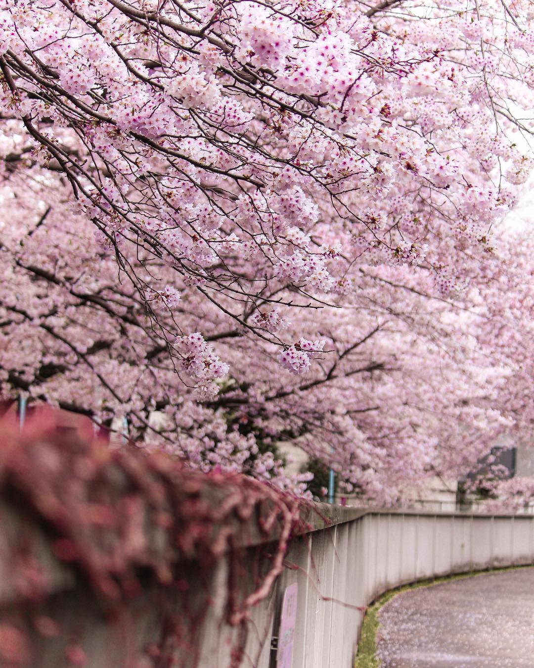 Sakura Cherry Blossoms Tokyo Kyoto Japan