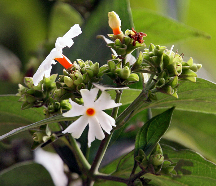 "The Indian flower called "" Harsingar "" or "" Shiuli "" Image Credit:  Wikipedia"