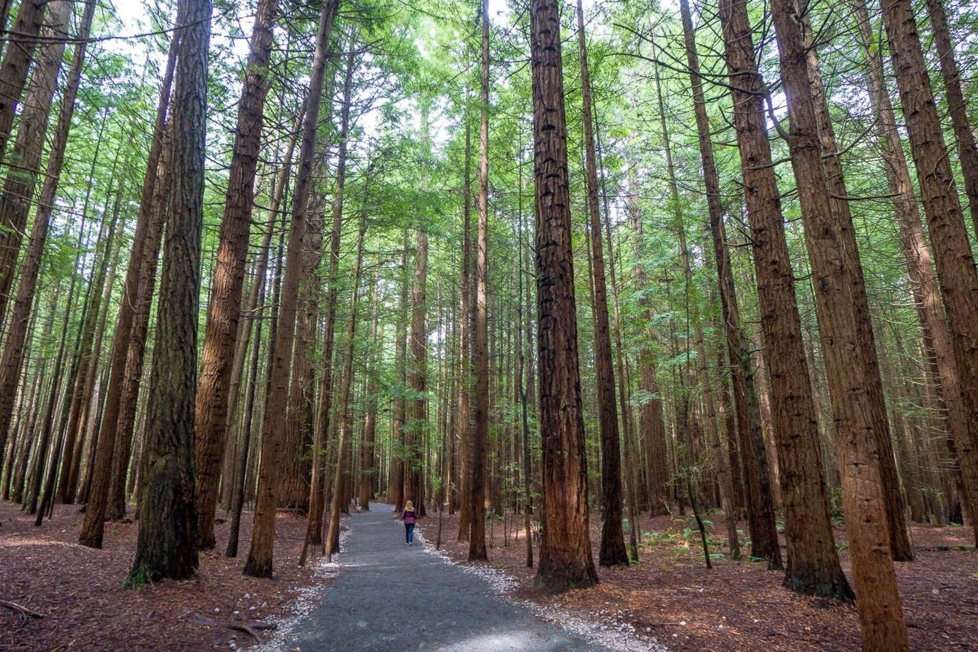 New Zealand Redwood Forest Pathway