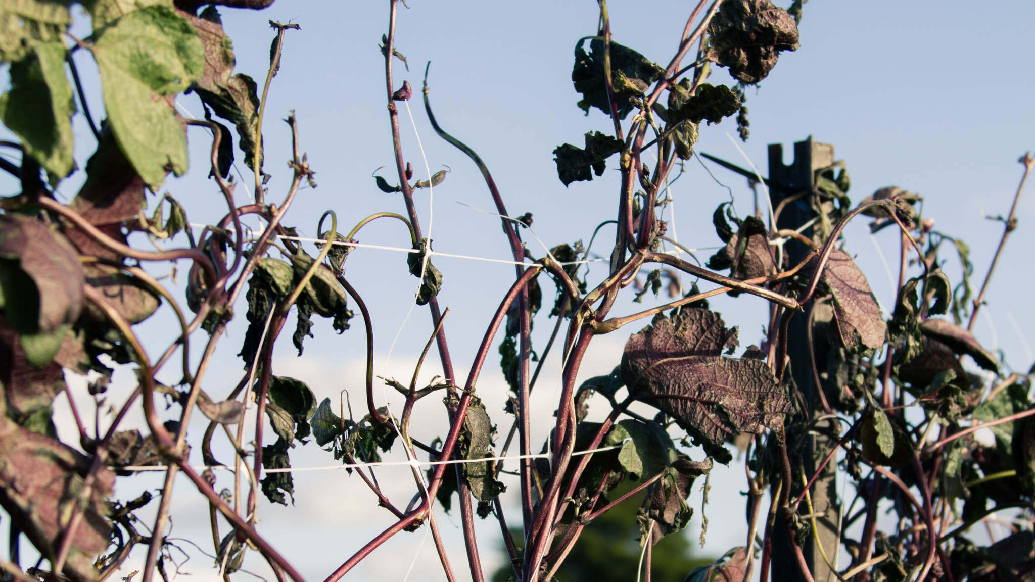 The Hyacinth Beans had sort of recovered from Fehi's shredding only to be shredded once more by Gita.