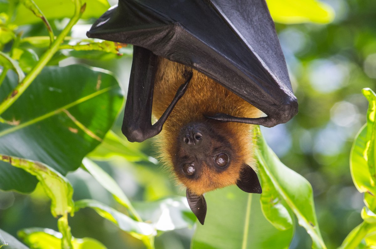 Fruit bats - You will see many of these harmless bats hanging from the trees, all around our jungle areas. Fruit bats mostly eat fruit juice and flower nectar. They chew the fruit, then spit out the seeds, peel, and pulp.Where to see them?Fruit bats can be spotted all around the island.Their distinct squeaking sound will sure draw your attention.