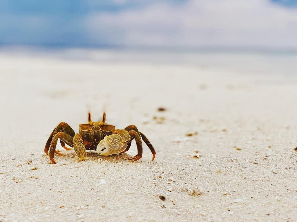 Crabs - A large variety of crabs can be seen on our beaches and even in the inner island areas.Where to see them?Hermit crabs can found in the white sands almost anywhere around the island. Land crabs are commonly seen in the evening. or early morning around the pathways and garden areas.