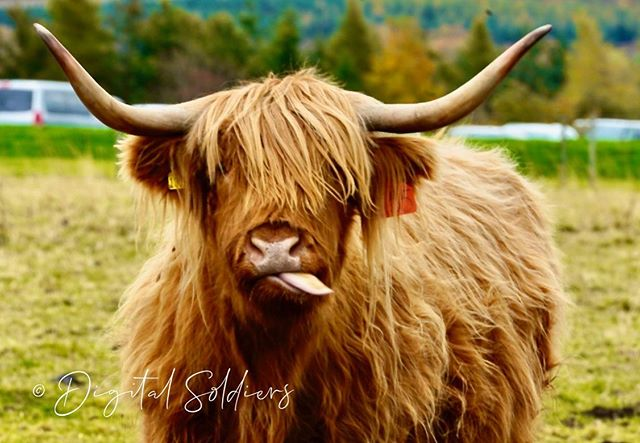 Met this chap on my travels just outside Inverness. #hairycoo #hairycow #highlandcowsofinstagram #highlandcow #highlandcows #highlandcows @highlandcowawareness #fortheloveofscotland @nationaltrustforscotland @cullodenbattlefield #cullodenbattlefield