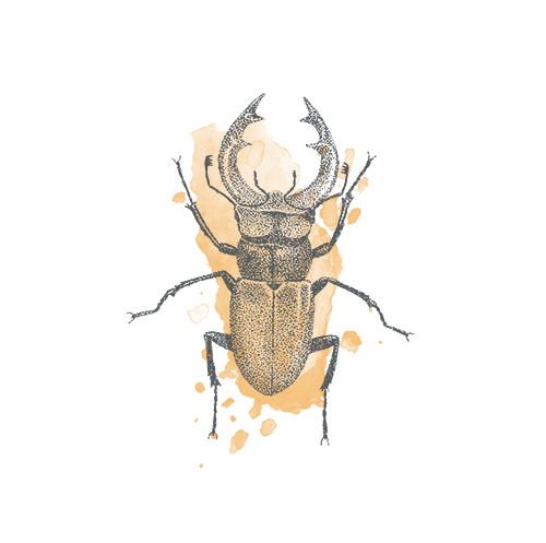 Stag beetle illustration - sRGB.png