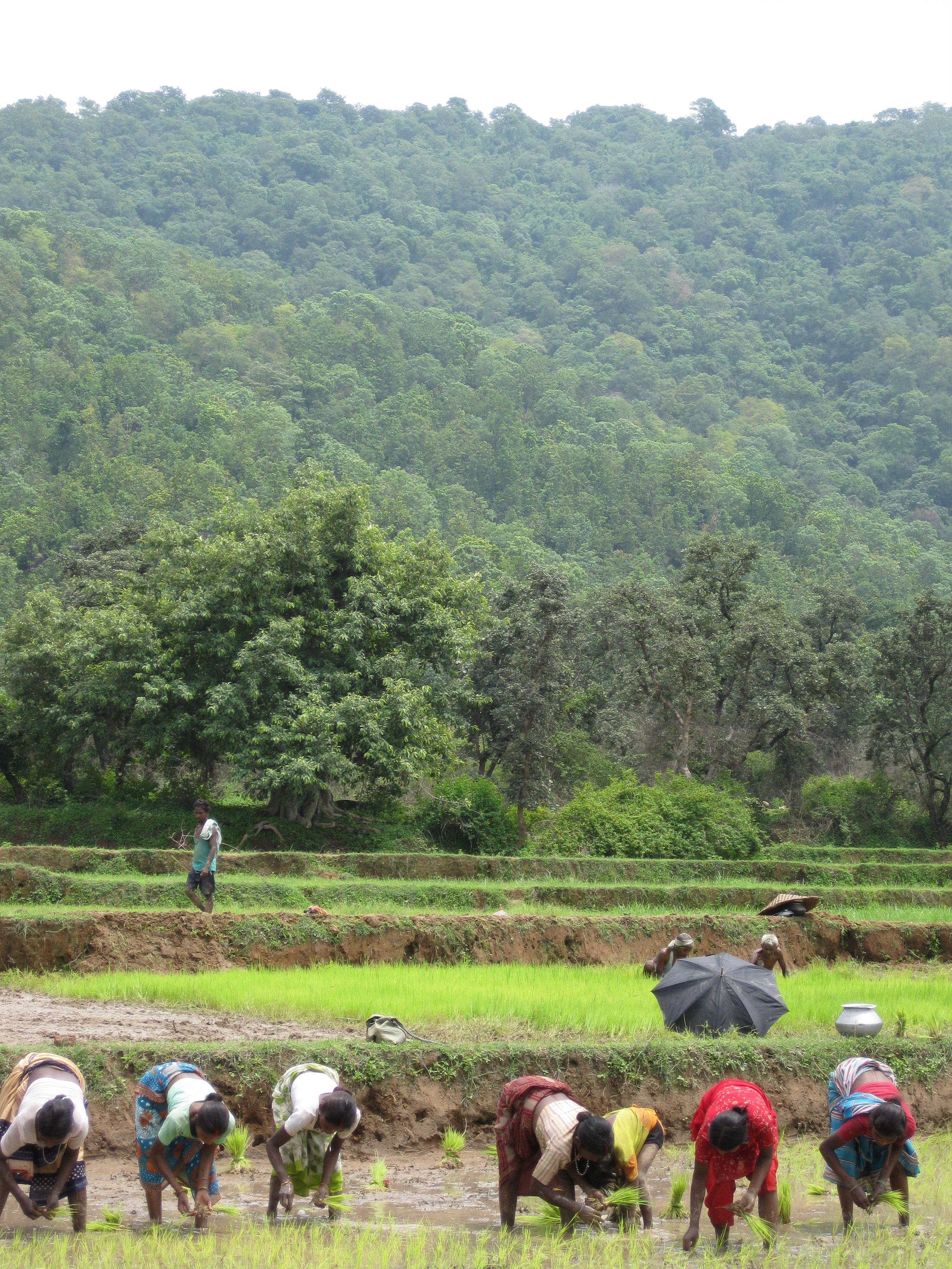 C1 Oraon Adivasis sharing labour to sow rice.jpg