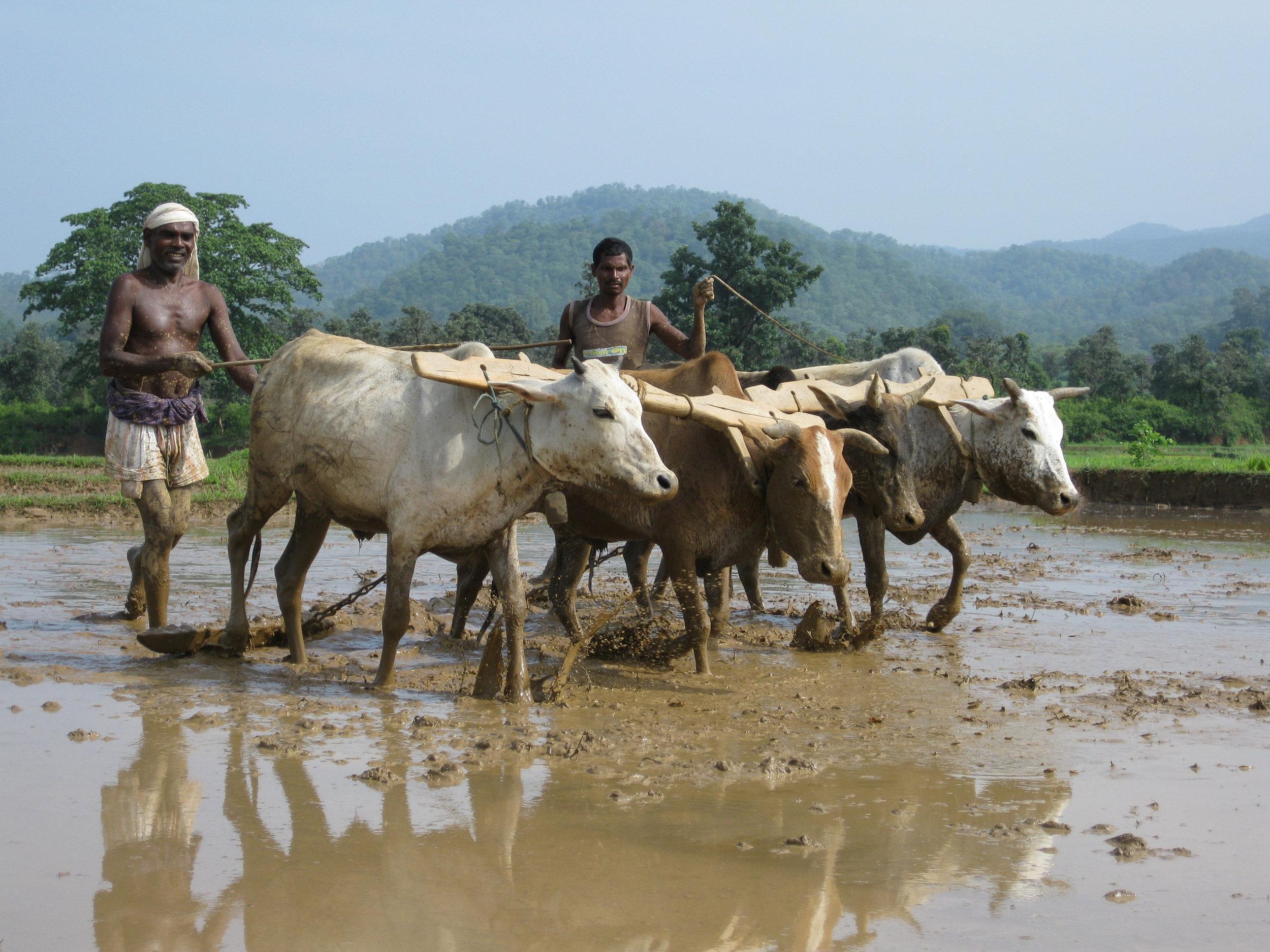 C4 Oraon Adivasis prepare their land for planting rice.jpg