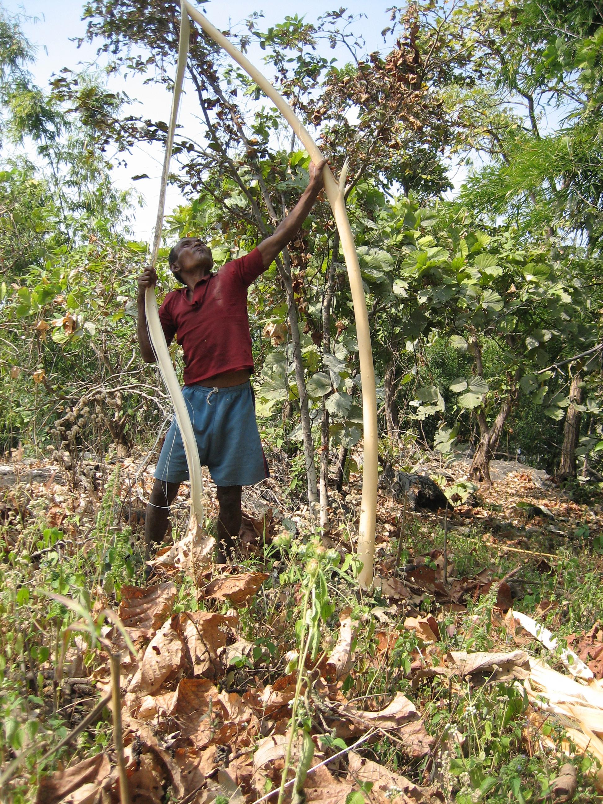 C21 Birhor Adivasi man stripping bark to make rope.jpg