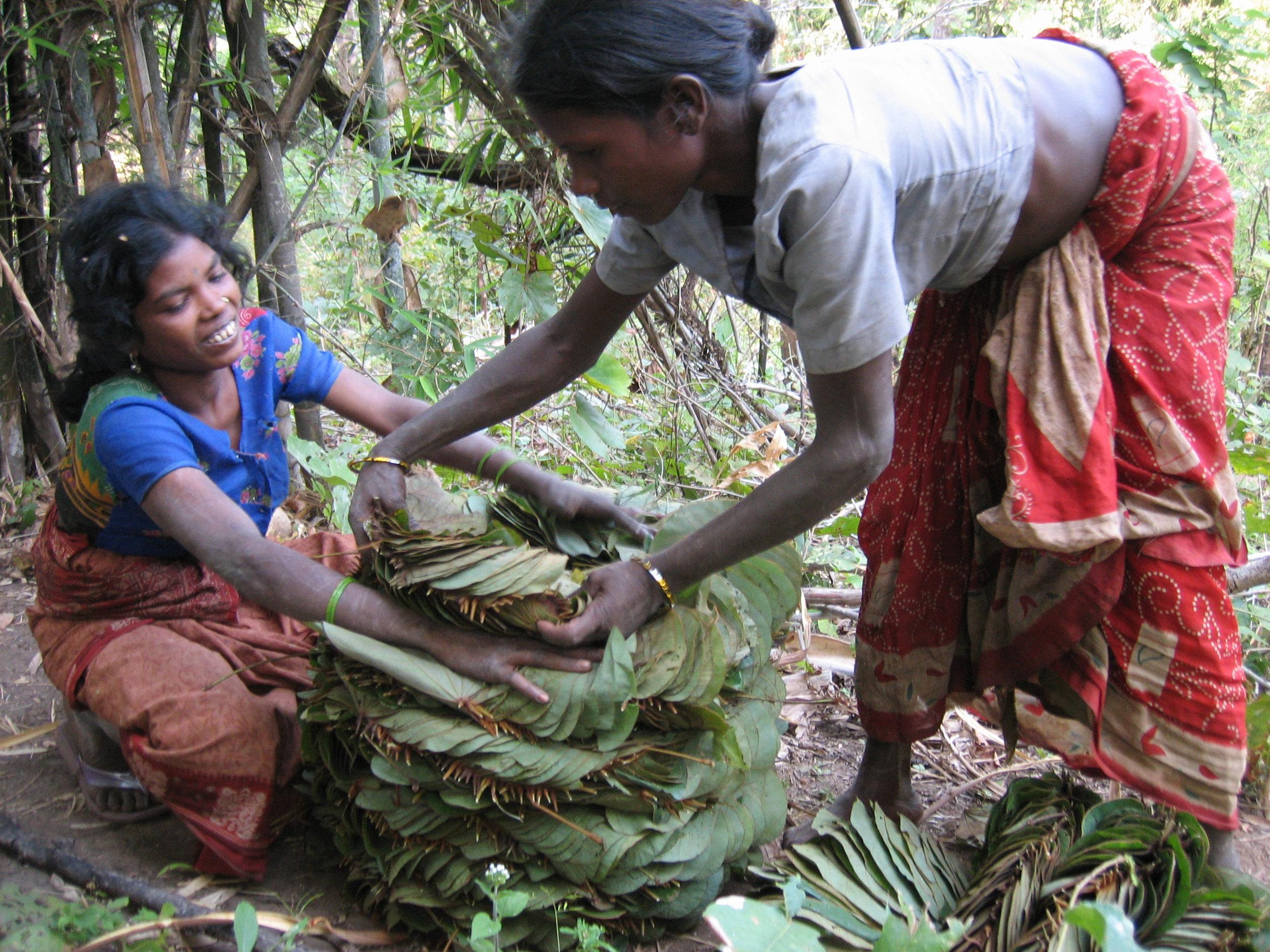 C13 Oraon Adivasi women picking mohallan leaves.jpg