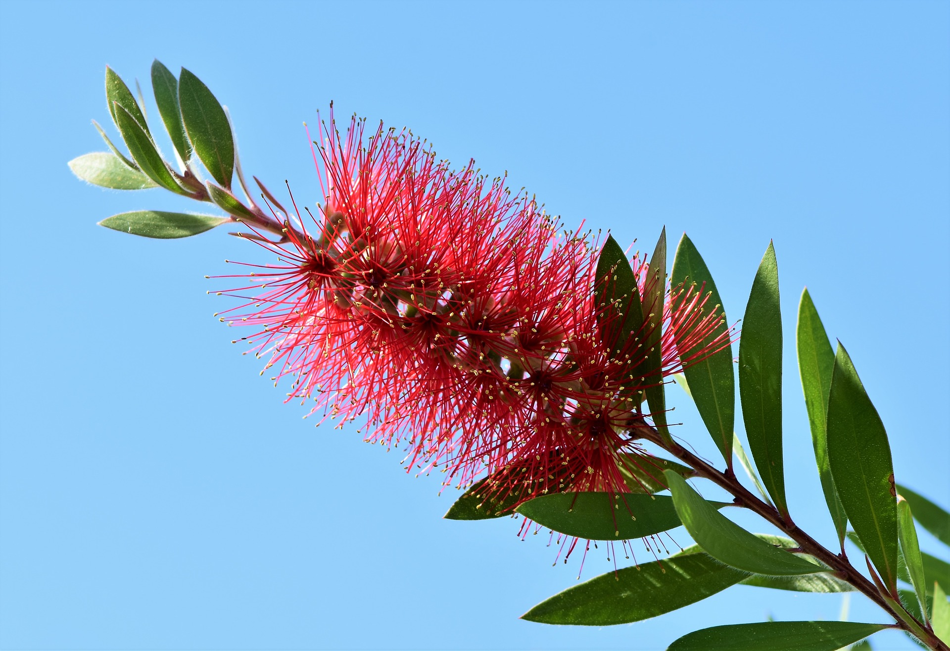 lemon-bottlebrush-3406640_1920.jpg