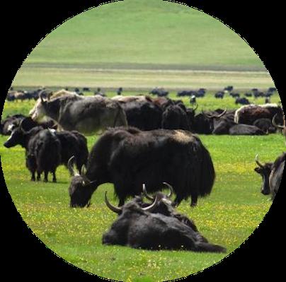 tibetan-nomadic-grassland.png