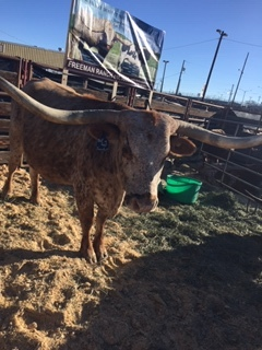 - Photo by Suzanne Drumm (Bentwood Alpaca & Yak) of Longhorns at NWSS 2019