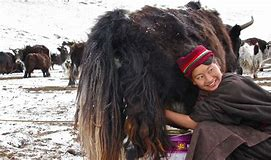 tibetan with yak.png