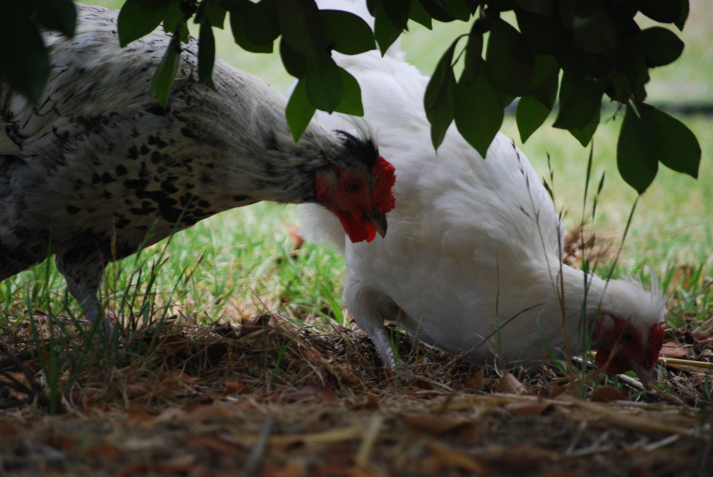 Cornelius & Snowy - First Roosters on the Farm. Rescued from the side of the road, Cornelius and Snowy are now going to have a stress-free life of pecking and dancing!