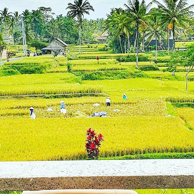 Manual harvesting  #ubud #baliindonesia #nostress @kuwarasanubud #balihotels