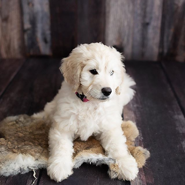 Perhaps I should add Puppy Photography as well.....what do you think? .....................Meet Tess, our 11 week old English Teddy Groodle.
