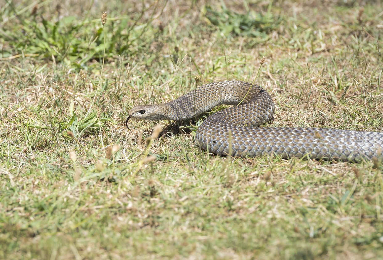 The deadly Eastern Brown Snake.