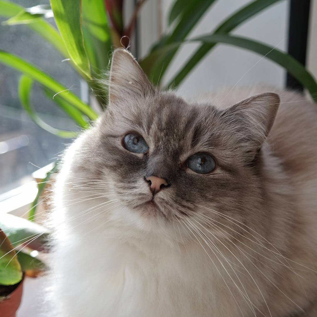 Spangle cat birman ragdoll