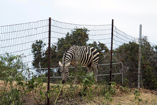 Zebra on the Big Island of Hawaii