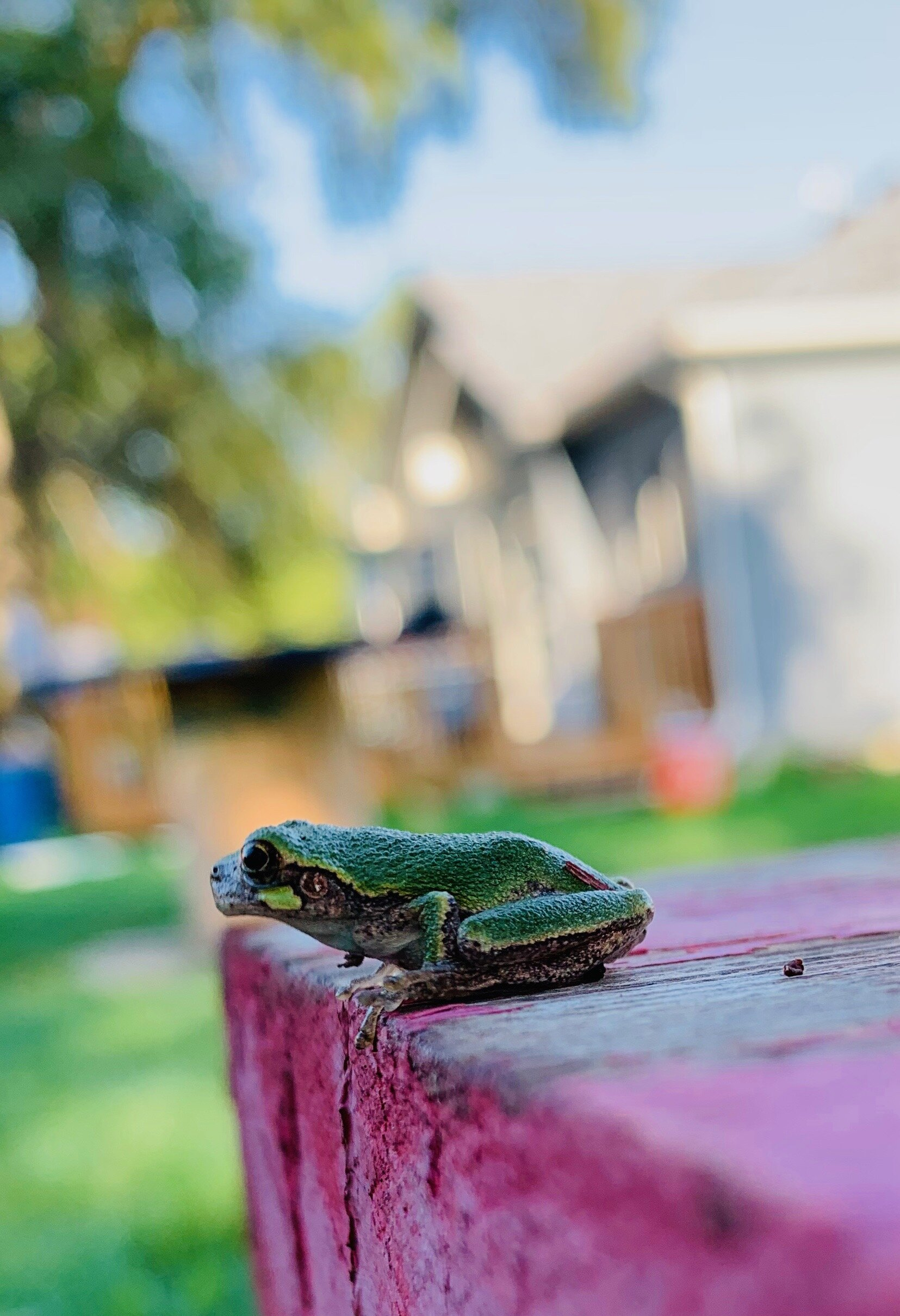 A frog I found in the middle of no were.
