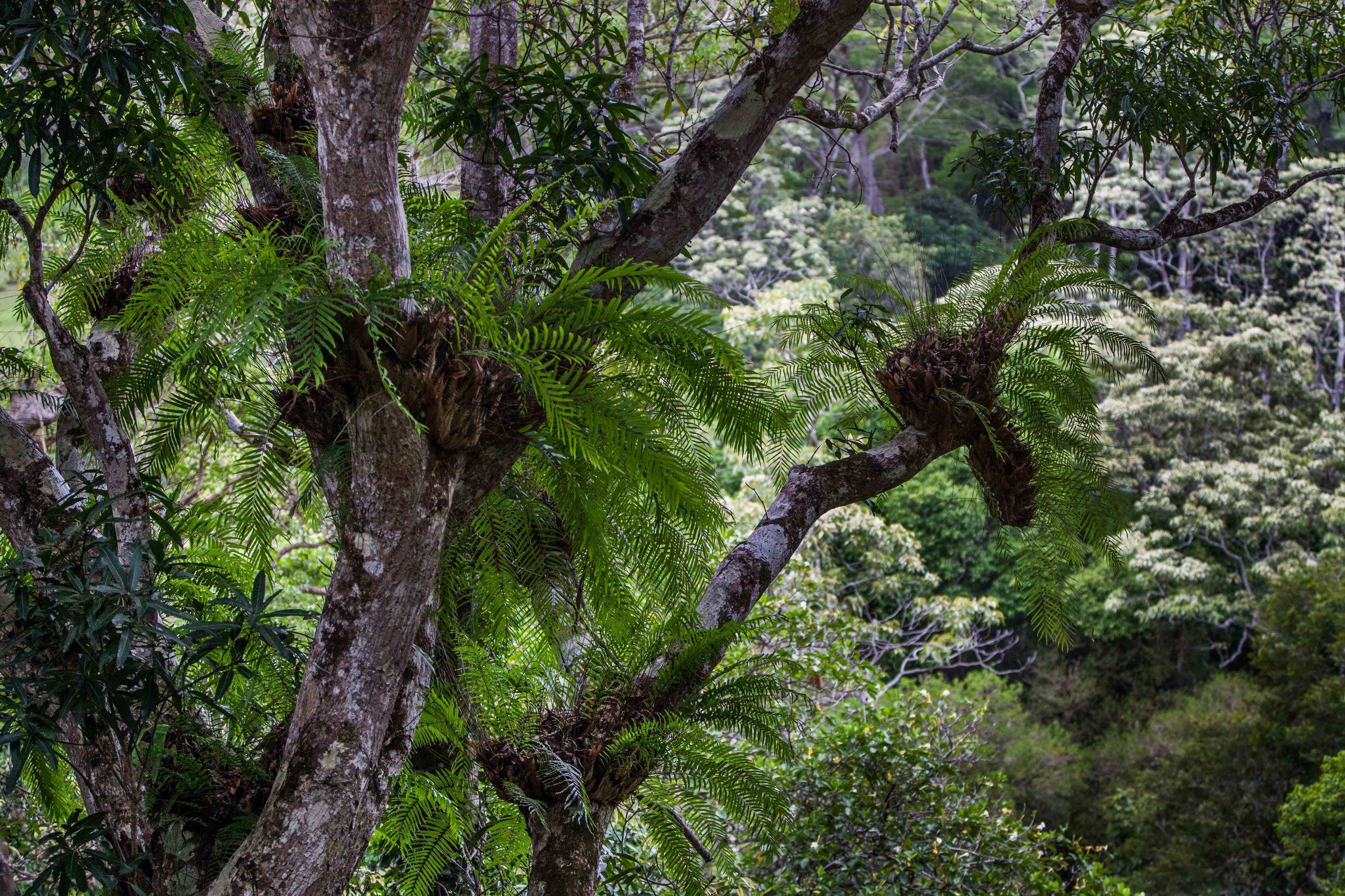 Epiphytes in New Caledonia, Jan. 2016