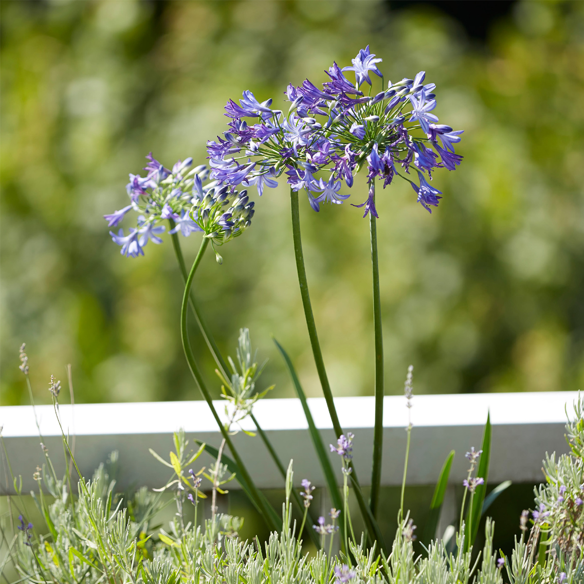 Agapanthus 'Northern Star' & Lavandula x intermedia