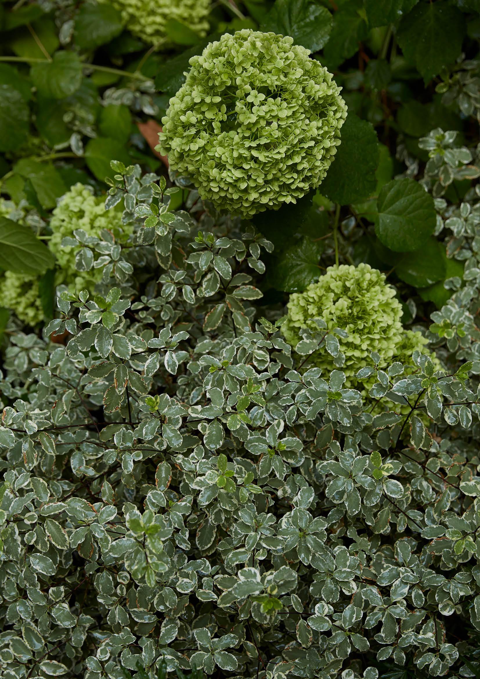 Pittosporum tenuifolium & Hydrangea arborescens 'Annabelle'