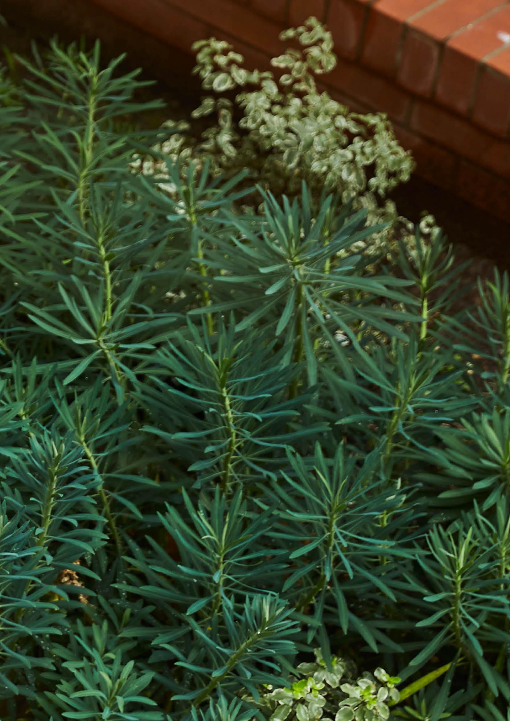 Euphorbia characias 'Wulfennii'
