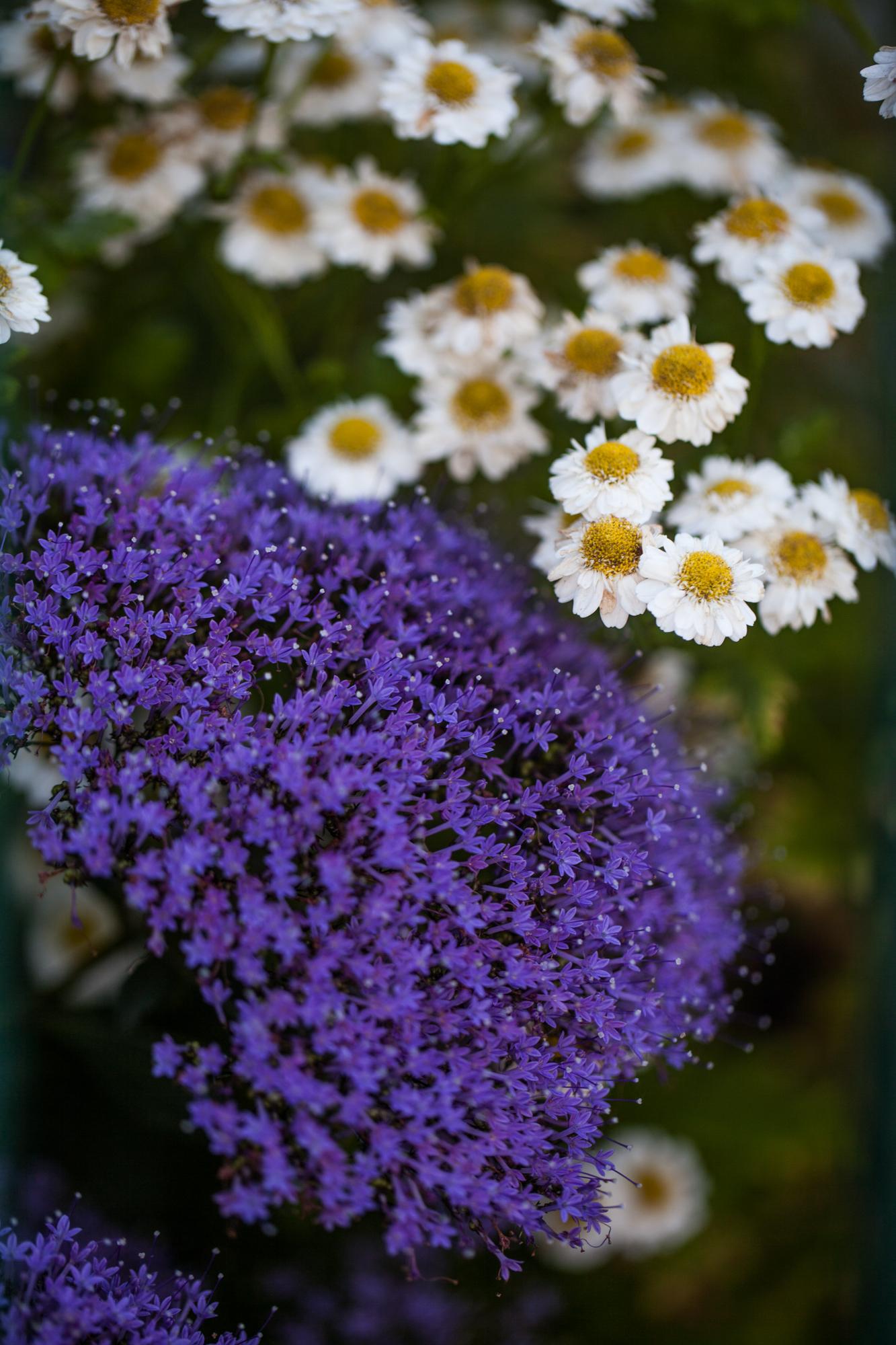 Chamaemelum nobile & Trachelium caeruleum