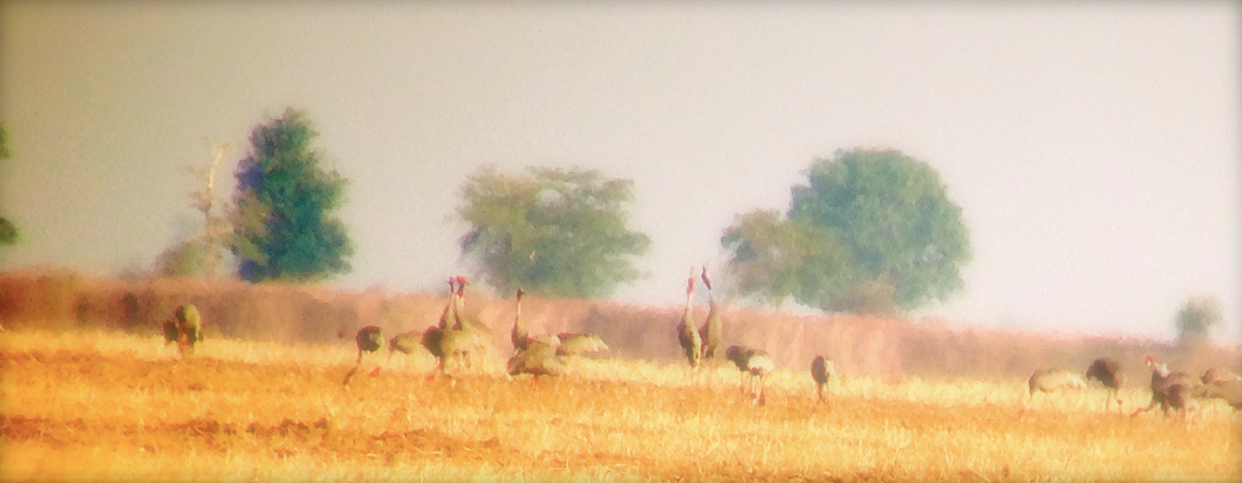 Sarus cranes2 Cambodia March 2014.jpg