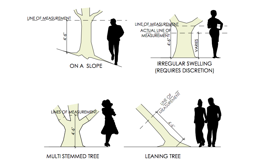 How to measure a tree in Austin