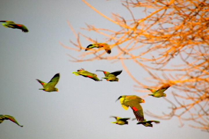 Parrots-swarm to roost.JPG