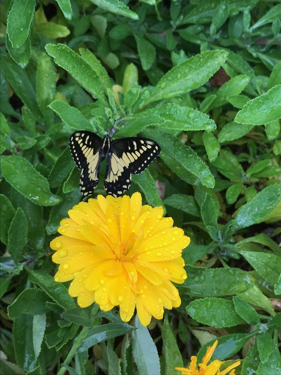 swallowtail_Vertical.jpg