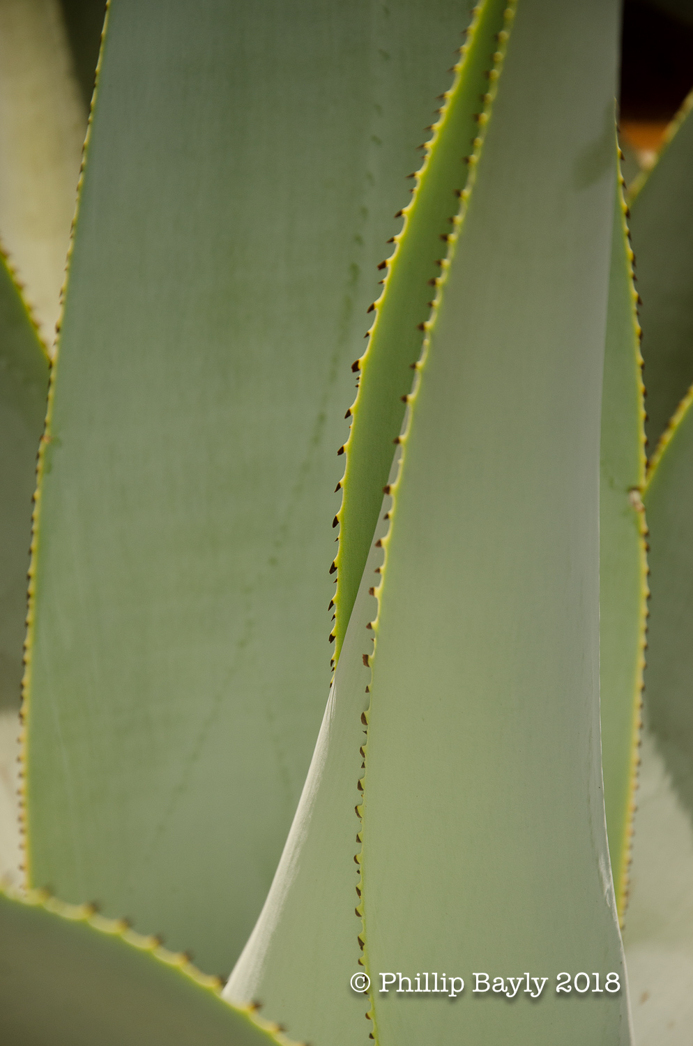 Agave Love A! poster image.jpg