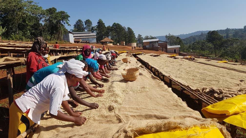 Ethiopian Washed Guji Hambela Grade 1 — Avant Coffee Imports