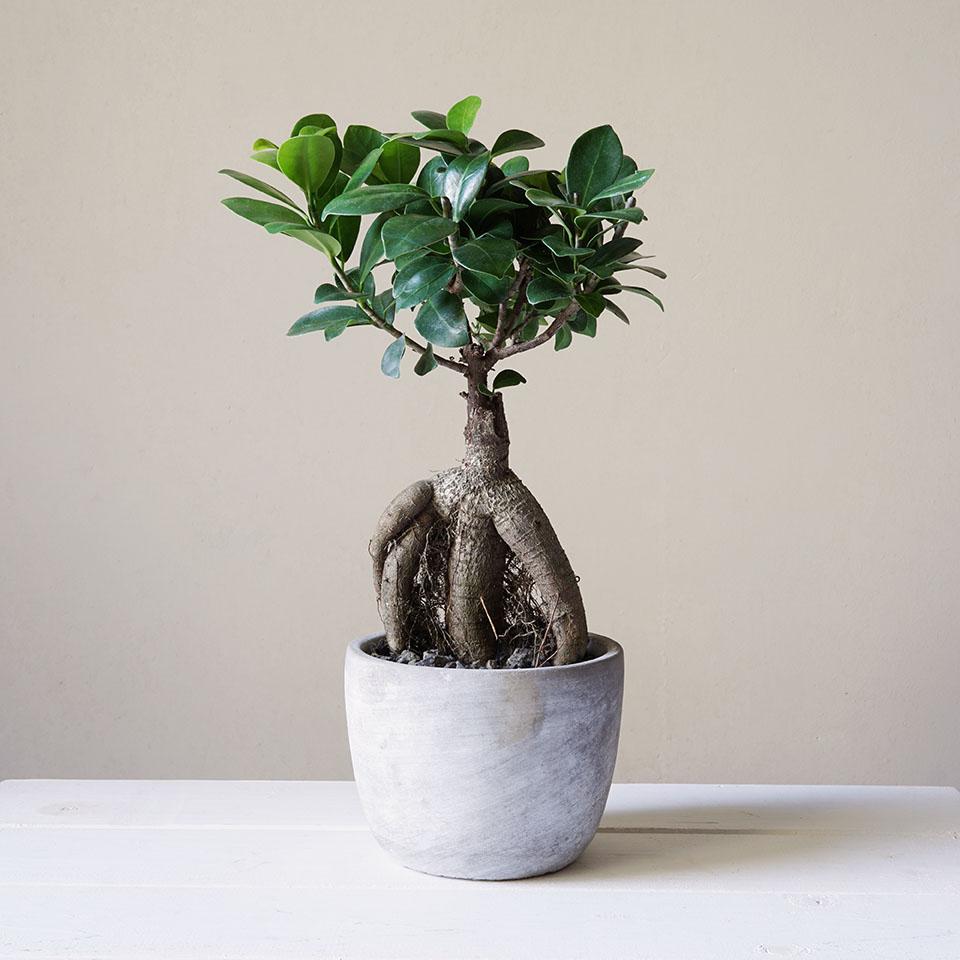 Ficus Ginseng.jpg