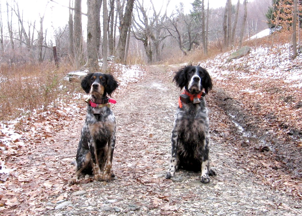 """Scout and atticus  """"My wife and I primarily hunt Partridge and woodcock in New England and could not be happier with our two Llewellin Setters! Both have terrific personalities, great hunting drive and wonderful confirmation. They could not have been easier to train due to their inherent abilities. Our male (5yo Atticus) is a grouse finding machine and our female (1yo Scout) was backing him naturally at 6 months! We could not have asked for a more stylish brace of Setters for the uplands and in the home.""""  - Billy and Sharon Higgins MA. (owners of Atticus & Scout)"""