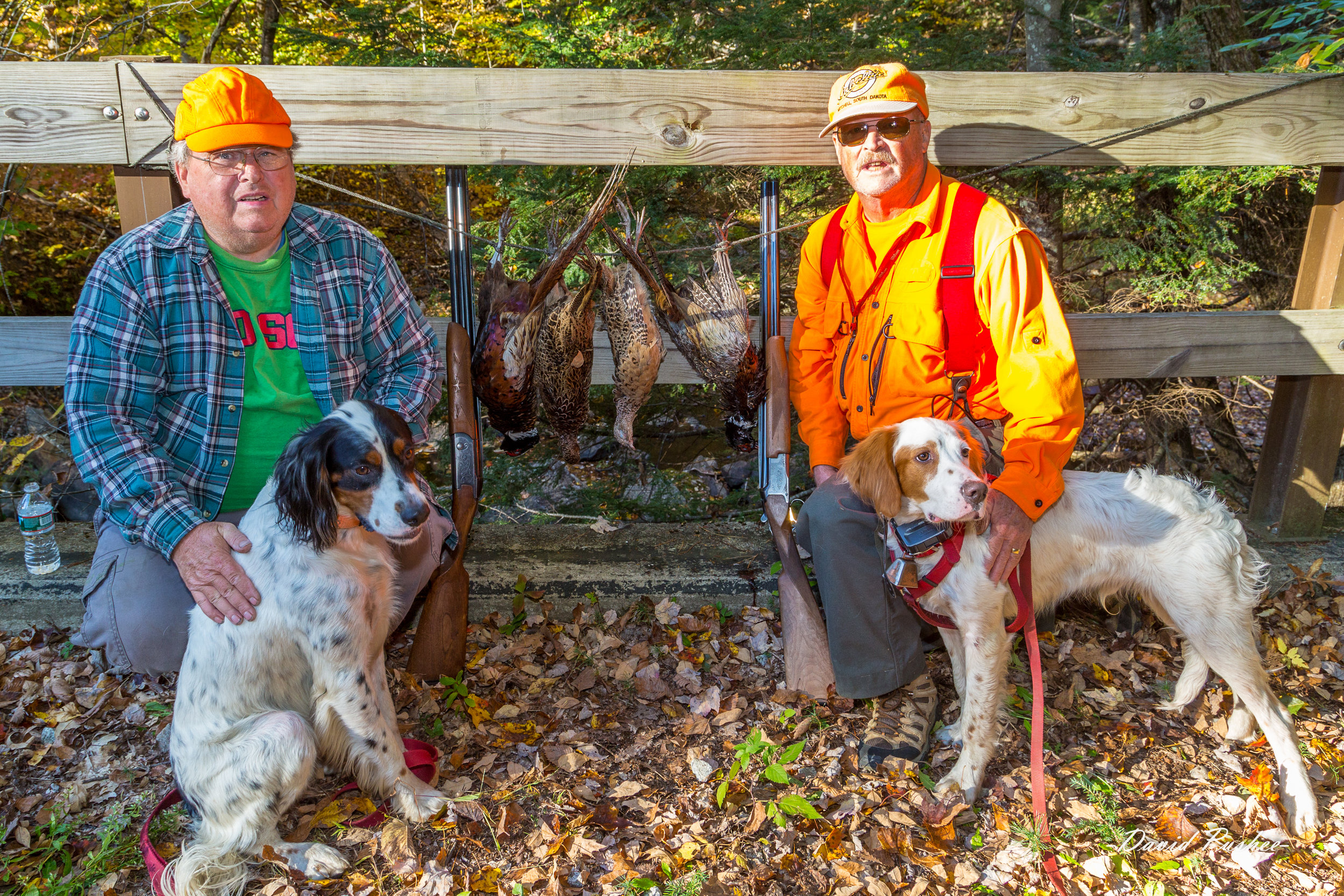 Merlin & Llewie  October 2016  George,  I was a bit nervous about taking Llewie out for pheasant this year, but he's been doing a fantastic job. I worked a lot harder on training my previous dogs than I did with Llewie – he just seemed to get it naturally. He has pointed a Grouse that I shot; has pointed several woodcock, a few of which have been collected; and has pointed quite a few pheasant. Friday and yesterday, Dave Suitor and I hunted with Llewie and Merlin in Hill. Both dogs were all business and we limited on pheasant both days. I'm including a few photos from Friday.  For a dog just 6 months old, Llewie is doing a fantastic job. He is still learning and has several items that could still use improvement – hunting dead and retrieving are the main ones.  Thanks for creating great dogs. - Dave Pushee