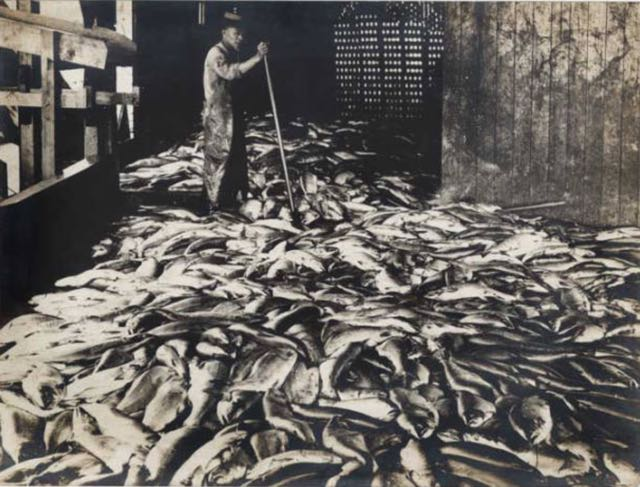 Photo: MOHAI - 10,000 Salmon on cannery wharf and Chinese worker, ca. 1900