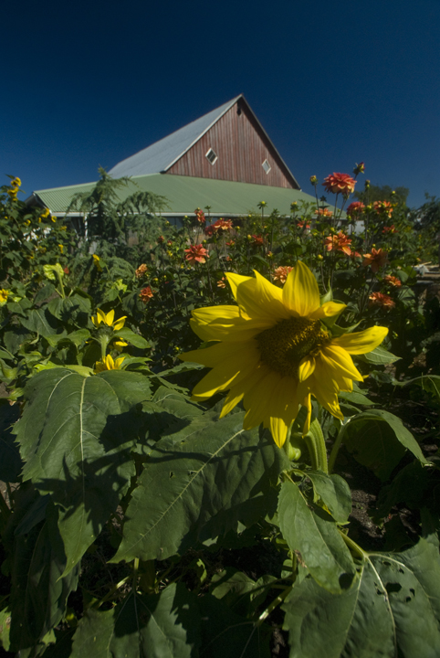 Flowers and Barn at Full Circle Farm, Carnation, WA. Photo: Roddy Scheer