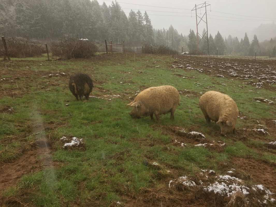 pachamama-farm-pigs.jpg