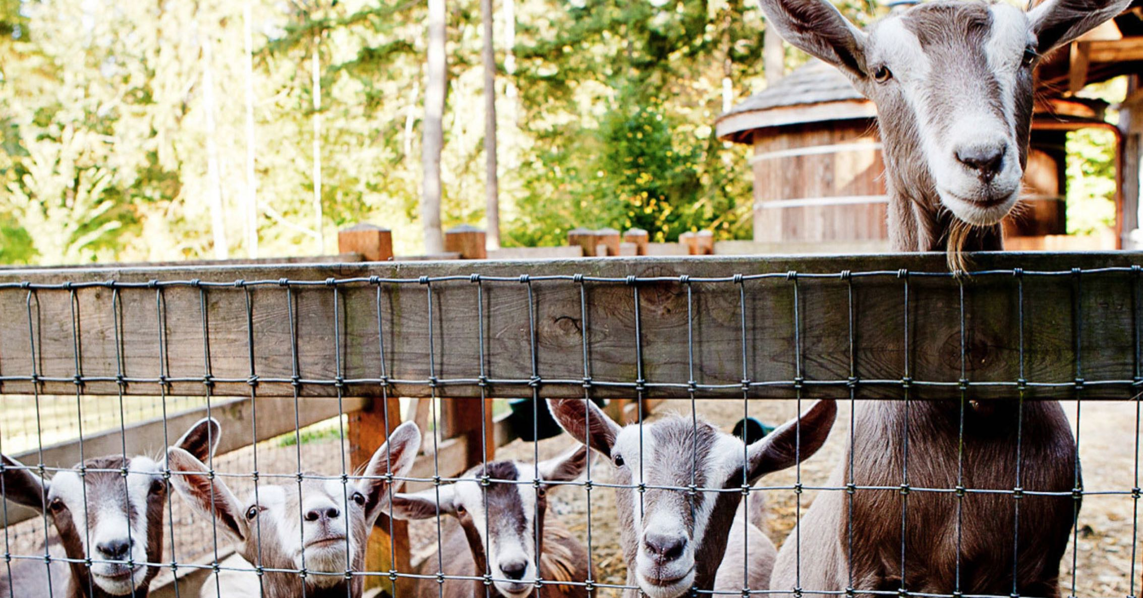 Goats happily living at Bella Luna Farms